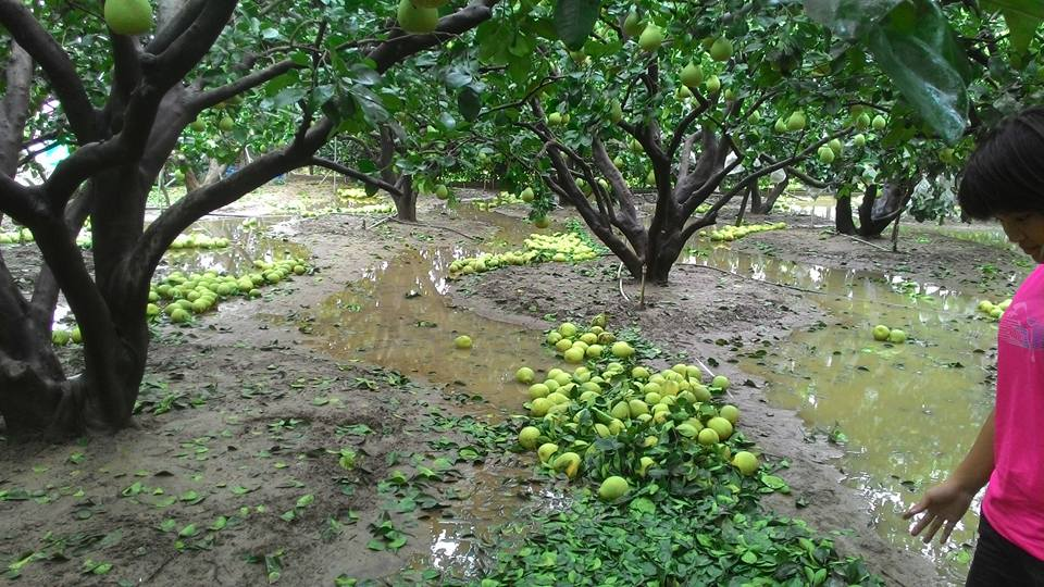 pomelo-field-after-typhoon-2