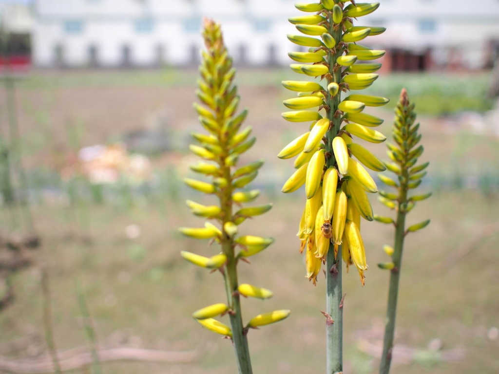 my-aloe-flower-in-xigang-2016-4